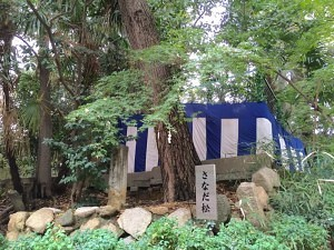 安居神社のさなだ松